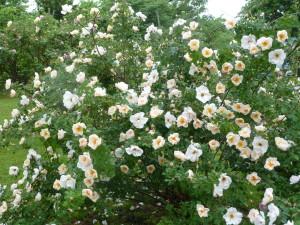 Unknown Old Garden Rose